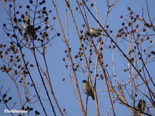 サルスベリの実を食べている小鳥
