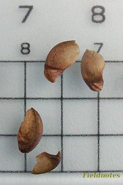 サルスベリの種