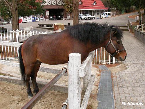 六甲山牧場の木曽馬