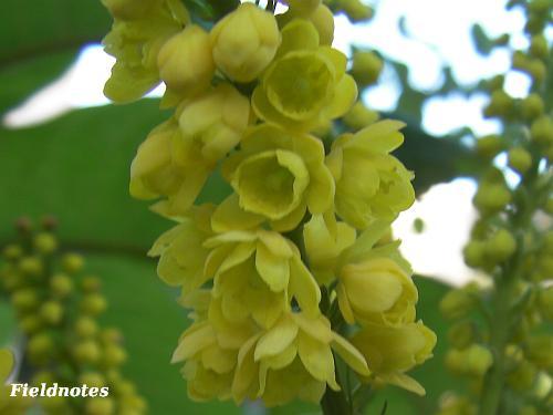 ホソバヒイラギナンテンの黄色く小さい花