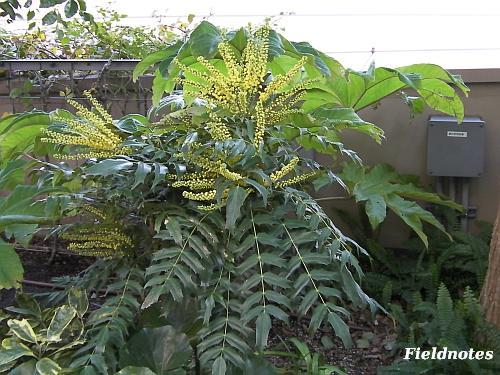 ホソバヒイラギナンテンの花と葉