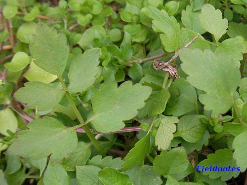 左側の大きなギザギザのついた葉が先から1枚・2枚・2枚とついているのがセリ