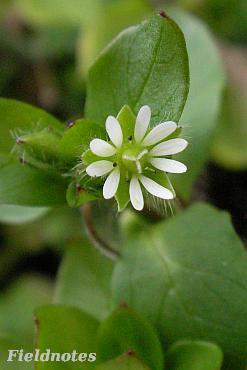 ちょうど今頃咲いているハコベの花