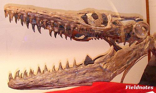 モササウルスの頭の化石[きしわだ自然資料館特別展「モササウルス」]