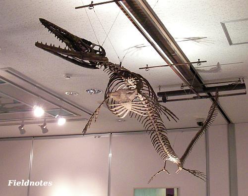 モササウルスの全身復元骨格標本[きしわだ自然資料館特別展「モササウルス」]