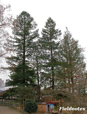 冬でも青々しているセコイアの木[花の文化園]