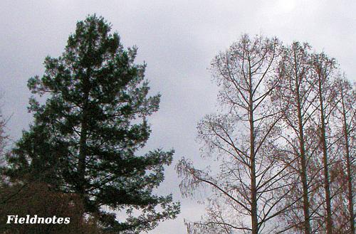 冬のセコイア(左)とメタセコイア(右)[花の文化園]