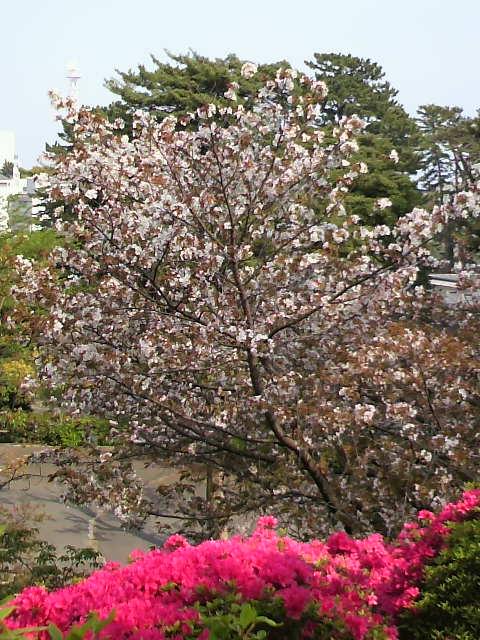 桜0426
