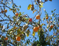 日本ばれの中の柿の実