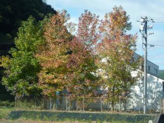 秋、標準木。