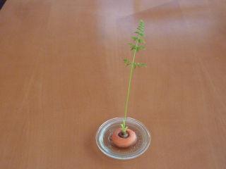 ニンジンの葉栽培