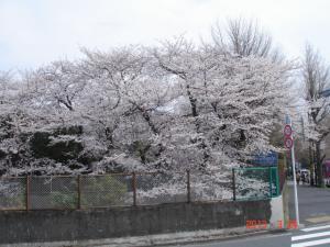 東京乗馬倶楽部の桜