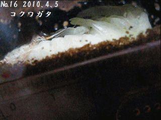 コクワガタ 幼虫から蛹へ