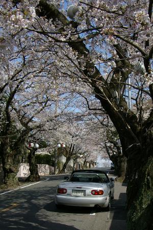 nagaurasakura2.jpg