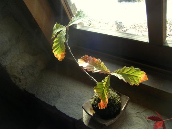 コナラ苔玉の紅葉