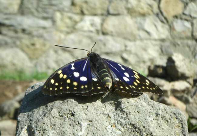 オオムラサキ蝶2