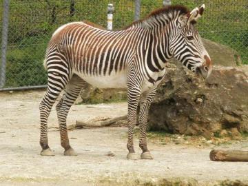 いしかわ動物園 グレビーシマウマ