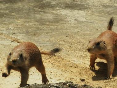 いしかわ動物園 オグロプレーリードッグ