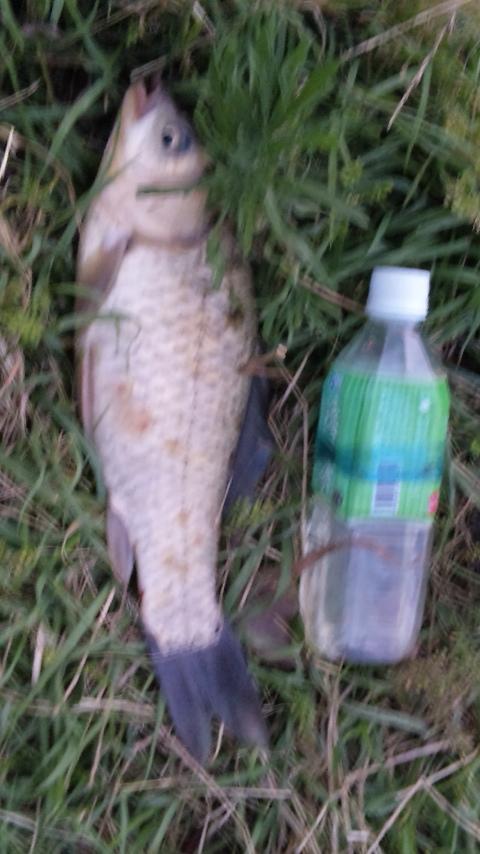 野鯉は方面