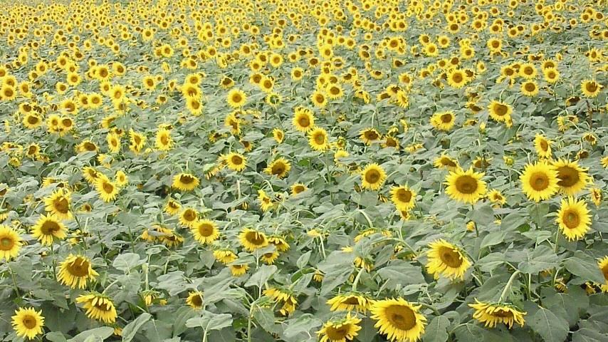 絵のような向日葵