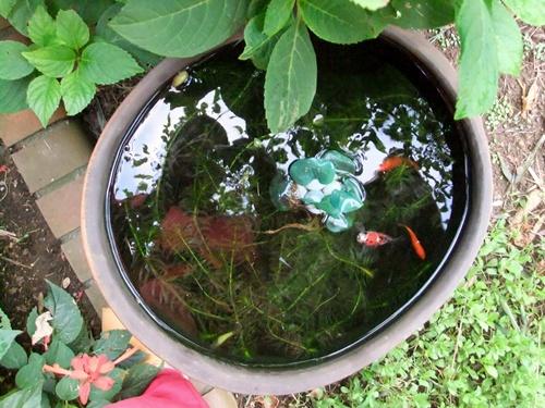 2011.9.27 庭の水槽 017 (1)