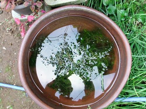 2011.9.27 庭の水槽 017 (3)