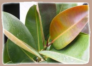 ゴムの木の葉っぱに花粉
