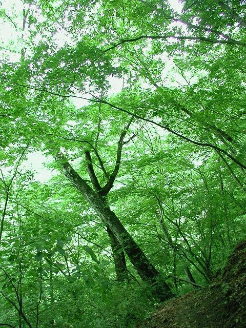 川乗岳、百尋の滝、木、林道工事0008.01s-640