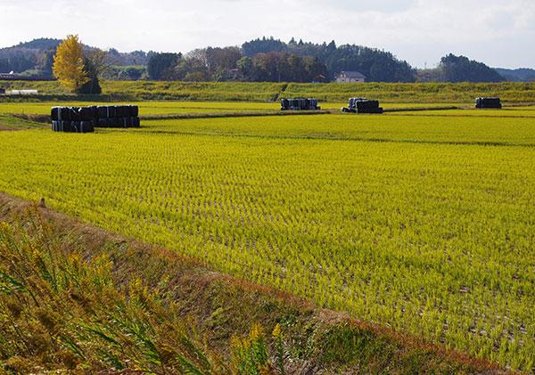 秋の田の刈穂