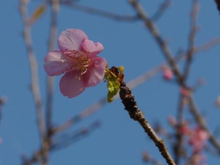 野間馬ハイランド 河津桜 2