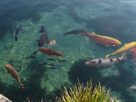 杖ノ淵公園 鯉 & 魚
