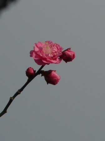 松山総合公園 寒紅梅