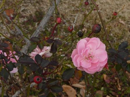 松山総合公園 バラ