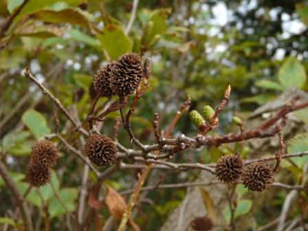 松山総合公園 ヤシャブシの実と冬芽 1