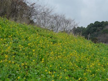 双海町 菜の花 3