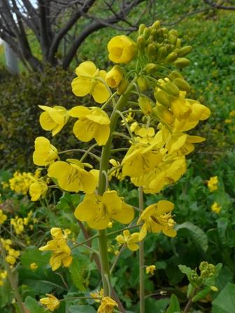 双海町 菜の花 4