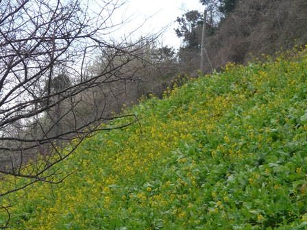 双海町 菜の花 1