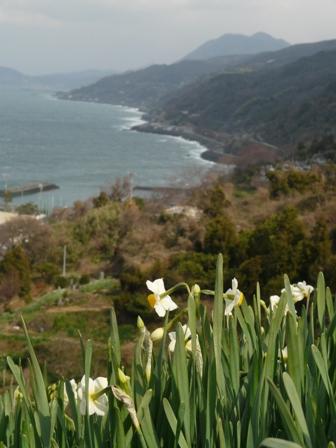 双海町 日本水仙 6
