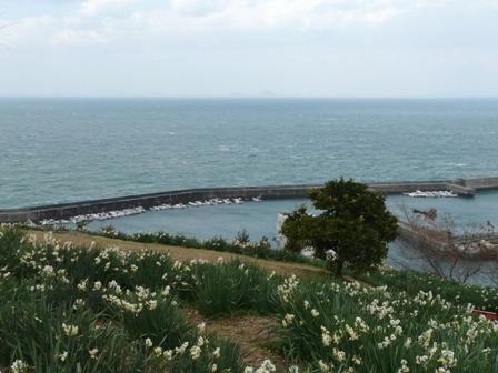 双海町 日本水仙 3
