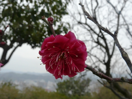 松山総合公園 梅 「紅千鳥」