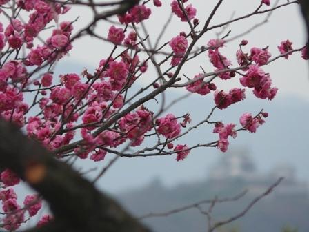 松山総合公園 梅 「寒紅梅」 1