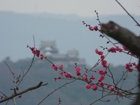 松山総合公園 梅 「寒紅梅」 2