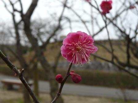 松山総合公園 梅 「鹿児島紅」 1