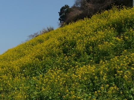 伊予市双海町 菜の花 1