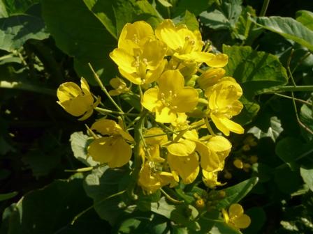 伊予市双海町 菜の花 3