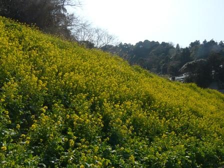 伊予市双海町 菜の花 2