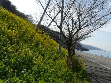 伊予市双海町 菜の花 4