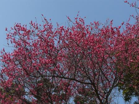 東雲神社 紅梅 1