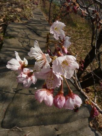 お城山 椿寒桜 4