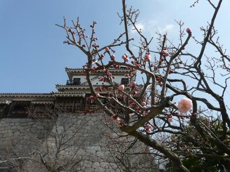 松山城 と 梅 2